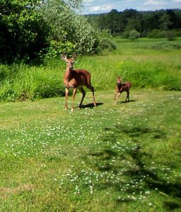 Maine deer and fawn