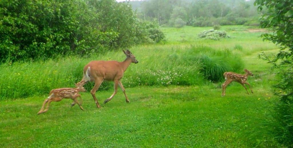Maine Doe with twin fawns