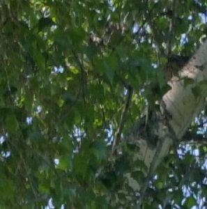 Birch Tree with Bluebird nest. Nature speaks.